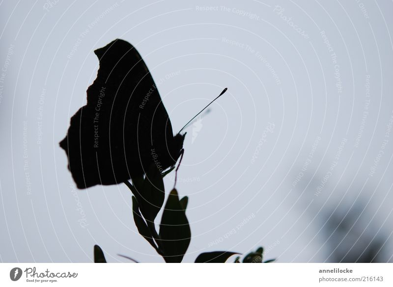 silhouette Environment Nature Plant Leaf Animal Farm animal Butterfly Wing Feeler Insect Dark Delicate Sit Subdued colour Exterior shot Close-up Deserted