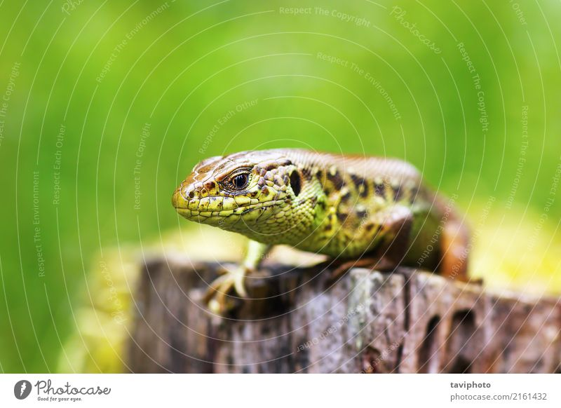 macro head of a male sand lizard Nature Man Colour Beautiful Green Animal Adults Environment Natural Small Brown Sand Wild Skin Living thing European