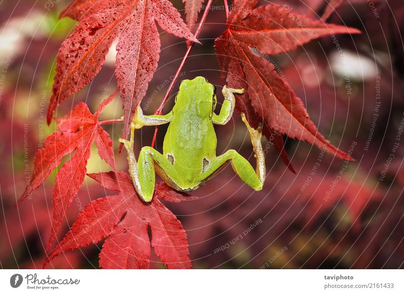 green tree frog climbing on japanese maple Nature Colour Beautiful Green Tree Animal Leaf Forest Environment Natural Small Garden Wild Fingers Cute Living thing