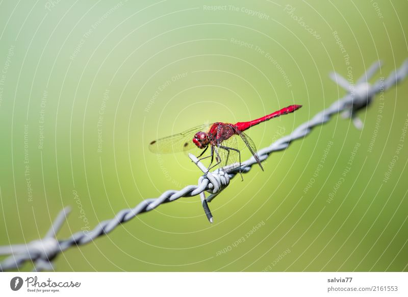 prickly Wing Dragonfly Insect 1 Animal Metal Barbed wire Thorny Observe Hunting Green Red Attentive Watchfulness Elegant Ease Center point Break Perspective