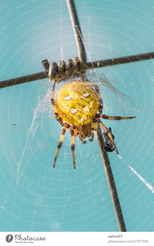 spinning Sky Animal Spider Cross spider 1 Observe Catch Crawl Threat Disgust Blue Yellow Patient Symbols and metaphors Crucifix Mixture Spider legs Prey