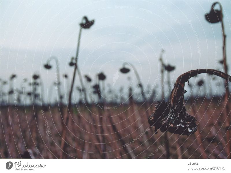 Plant Calm Environment Autumn Death Gray Sadness Brown Field Gloomy Transience Grief Derelict End Decline Sunflower