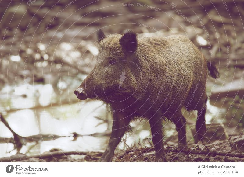 Nature Animal Gray Brown Wild animal Natural Happiness Zoo Joie de vivre (Vitality) Puddle Mud Water Swine Bristles Trunk Joy