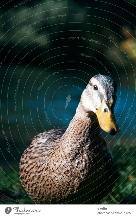 mallard duck Animal Bird Animal face 1 Curiosity Yellow Duck Duck birds Mallard Goose Water Grass Feather Wing Beak Brash Colour photo Close-up