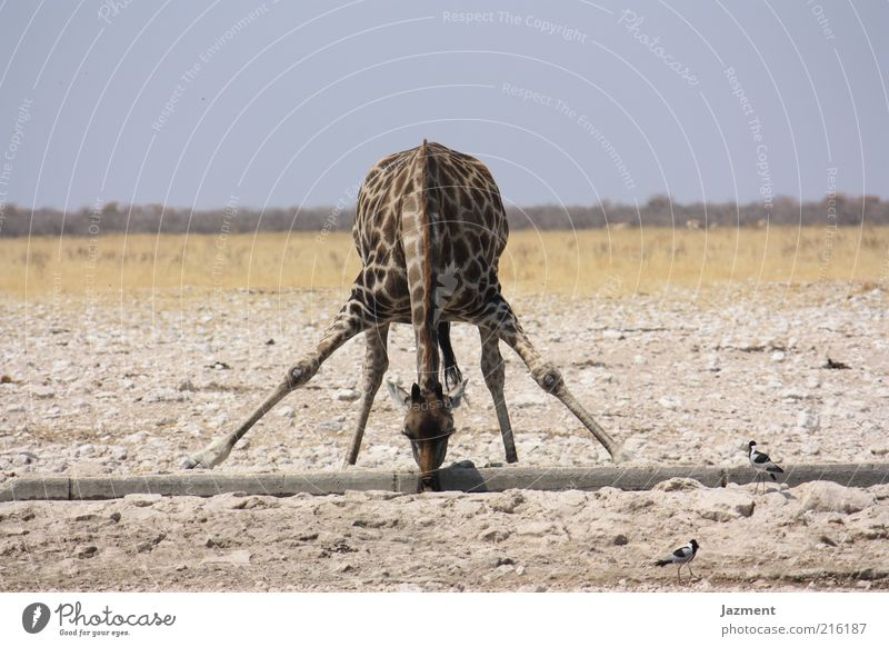 Water Animal Funny Contentment Exceptional Posture Drinking Flexible Drought Perspective Giraffe Animal portrait Action Light Multicoloured Savannah