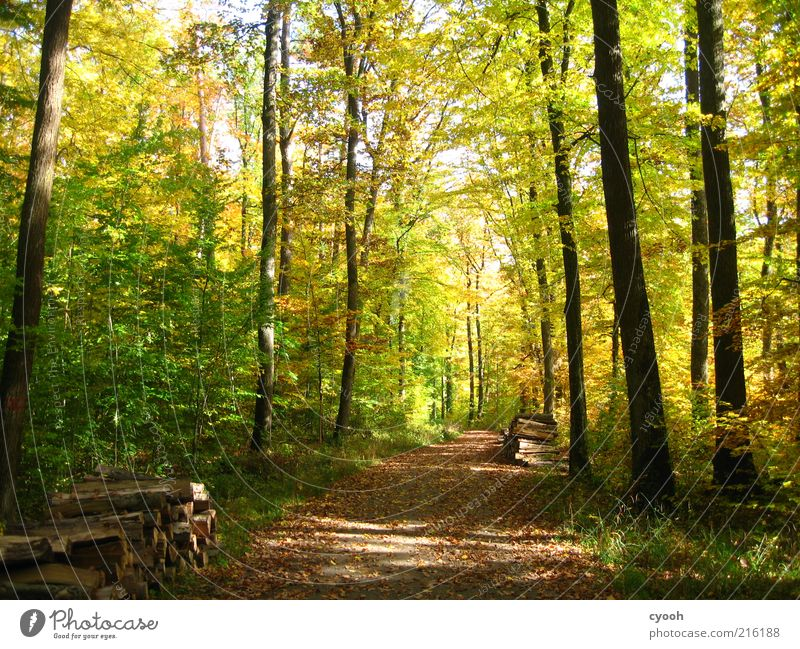 Autumn forest :) Freedom Hiking Nature Plant Beautiful weather Tree Forest Wood Brown Multicoloured Yellow Green Contentment Joie de vivre (Vitality) Calm