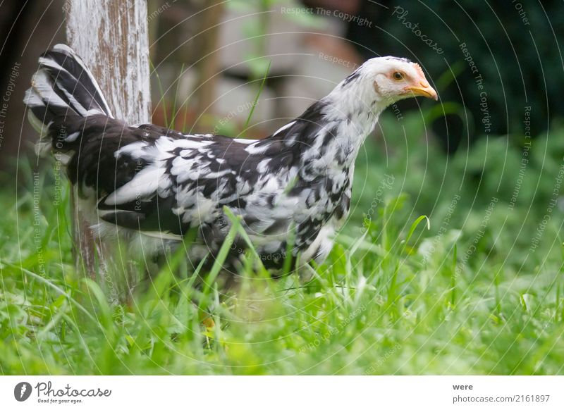 Nature Animal Bird Free Wing Curiosity Agriculture Farm Pet Forestry Barn fowl Farm animal Rooster Chick Poultry Geography