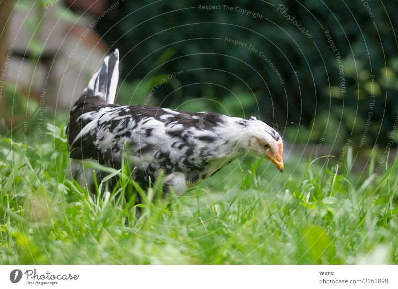Young hen hunting Agriculture Forestry Nature Animal Bird Free Curiosity Farm Egg flora and fauna Free-range chicken Poultry Geography Rooster Barn fowl pullet