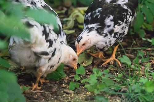 search for food Agriculture Forestry Nature Animal Pet Farm animal Bird Eating To feed Egg flora and fauna Free-range chicken Poultry Rooster Barn fowl pullet