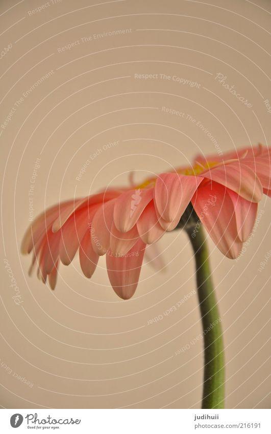 Nature Green Beautiful Plant Flower Summer Environment Blossom Pink Stand Soft Stalk Blossom leave Gerbera Flower stalk