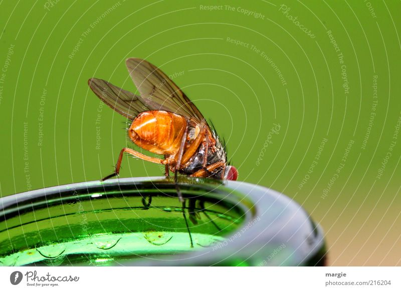 What's to drink? A fly on a bottle neck Beverage Bottle Drinking Animal Fly Bee Grand piano Insect Wasps Glass To feed To enjoy Crawl Looking Sit Curiosity