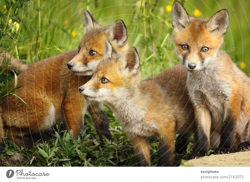 red fox brothers near the den Nature Dog Colour Beautiful Green Red Animal Face Baby animal Environment Natural Grass Family & Relations Small Brown Together
