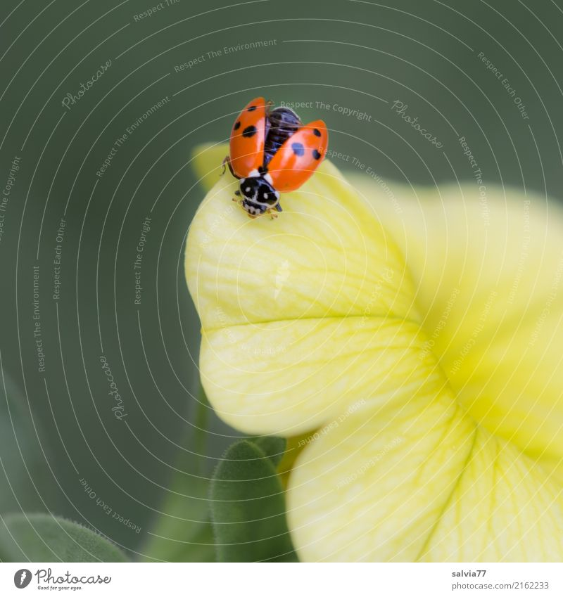 Is he flying or not? Wellness Harmonious Well-being Valentine's Day Mother's Day Nature Plant Flower Blossom Petunia Garden Animal Beetle Wing Insect Ladybird 1