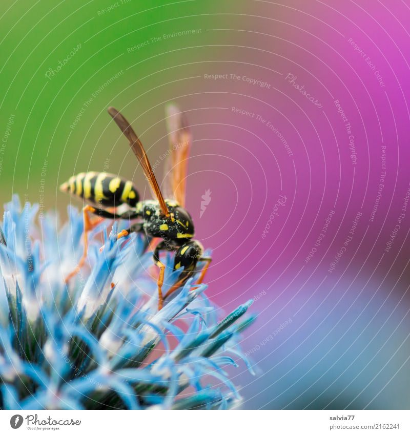 field wasp Nature Plant Animal Spring Summer Flower Thistle Garden Wasps Insect 1 Fragrance Thorny Sweet Blue Green Violet Colour globe thistle Nectar Sprinkle