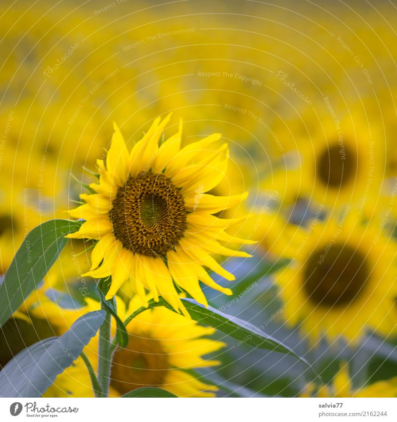 Let the sun shine in your heart Environment Nature Plant Sun Summer Flower Leaf Blossom Agricultural crop Sunflower field Field Fragrance Illuminate