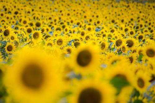 sunny flowers Landscape Plant Sun Summer Flower Blossom Agricultural crop Sunflower field Garden Field Blossoming Fragrance Friendliness Warmth Brown Yellow