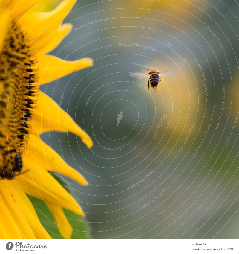 Nature Plant Summer Sun Flower Animal Far-off places Yellow Blossom Garden Gray Brown Flying Blossoming Target Insect