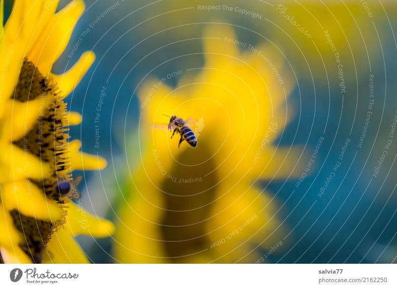 Nature Summer Blue Plant Flower Yellow Environment Blossom Garden Brown Flying Field Blossoming Energy Target Insect