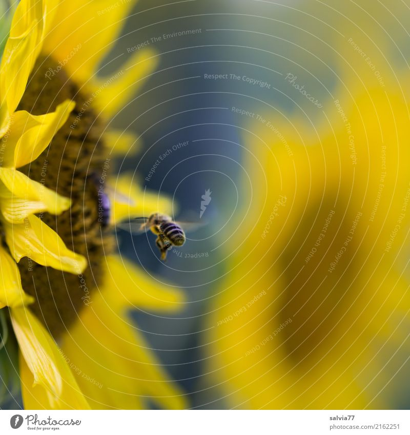 clear aim Environment Nature Plant Animal Sun Summer Flower Blossom Agricultural crop Sunflower Garden Field Farm animal Bee Wing Honey bee Honey flora Insect 1