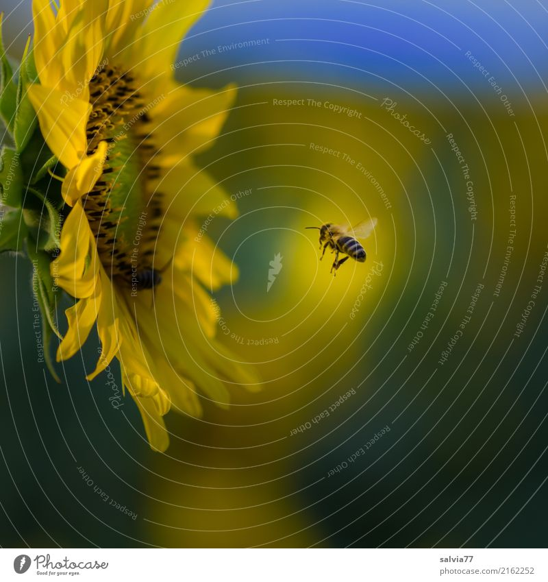 Nature Plant Blue Summer Flower Animal Yellow Environment Blossom Garden Flying Work and employment Field Blossoming Insect Fragrance