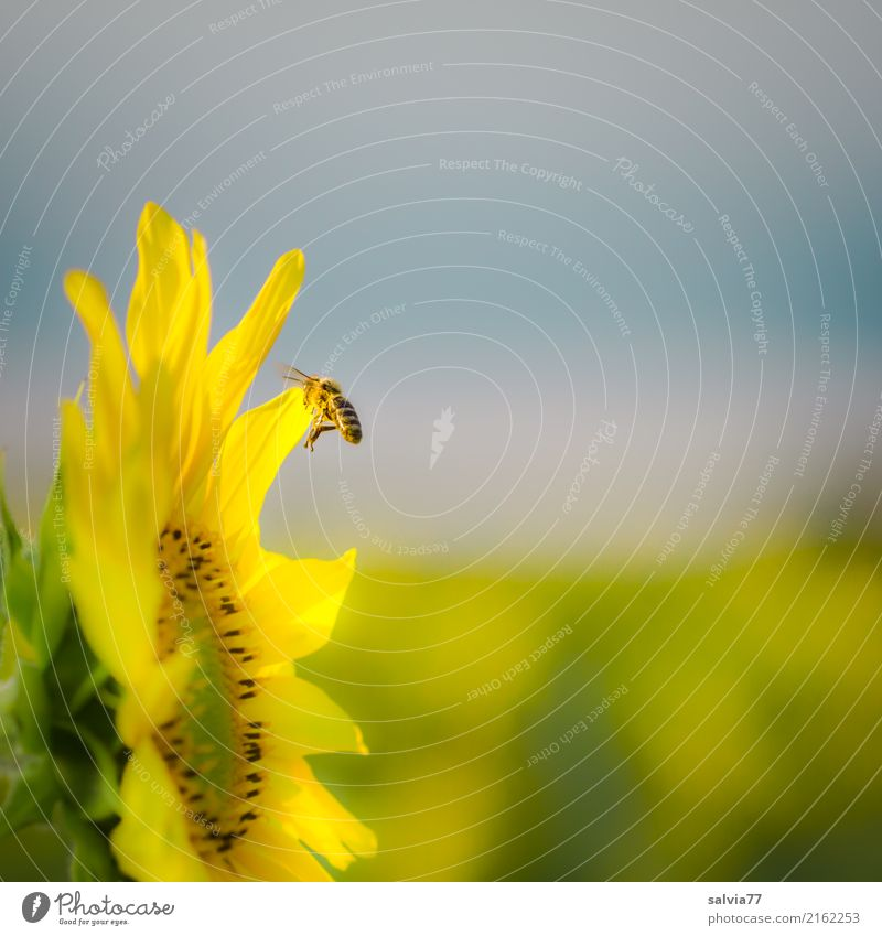 towards the sun Environment Nature Sky Sun Summer Climate Beautiful weather Plant Flower Blossom Agricultural crop Sunflower Garden Field Animal Farm animal Bee
