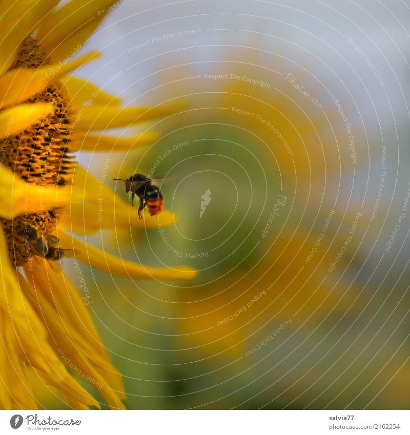 Sky Nature Plant Blue Summer Green Sun Flower Animal Warmth Yellow Environment Blossom Garden Flying Bright