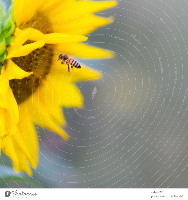 sunny gas station Nature Plant Summer Flower Blossom Garden Animal Bee Honey bee Insect 1 Fragrance Flying Brown Yellow Gray Colour Ease Environment Diligent