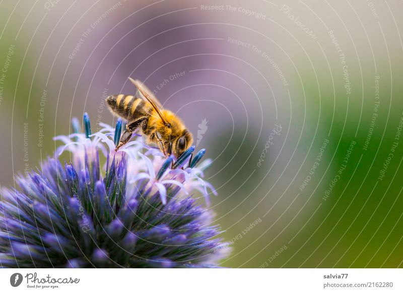 blue ball with asterisk Nature Summer Plant Flower Blossom Thistle blossom Garden Animal Bee Insect Honey bee 1 Fragrance Crawl Esthetic Delicious Beautiful
