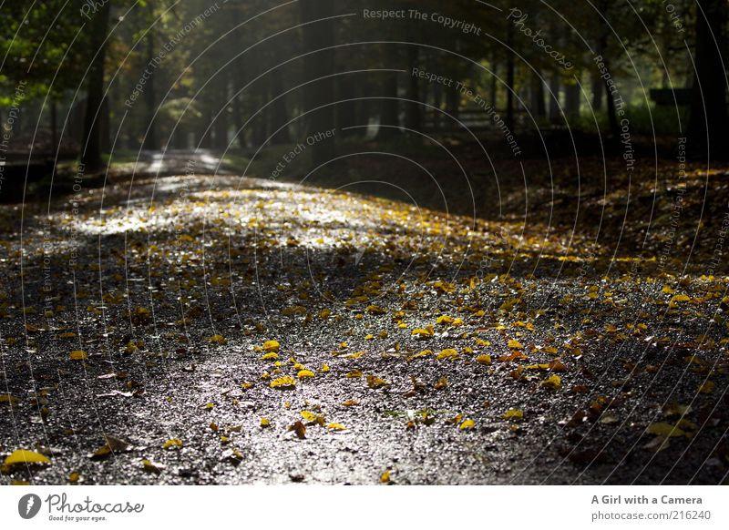 the wood in the morning Environment Nature Plant Autumn Beautiful weather Tree Forest Infinity Natural Yellow Black Idyll Leaf Deciduous tree Wet Footpath