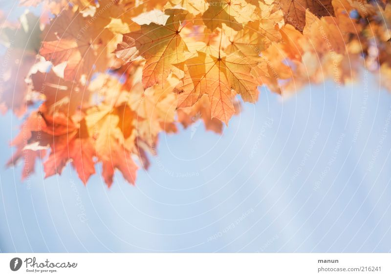Nature Beautiful Tree Leaf Autumn Brown Bright Environment Gold Change Transience Natural Illuminate Beautiful weather Autumn leaves Maple tree
