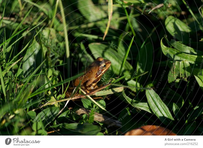 Olli Frog Environment Nature Animal Grass Meadow 1 Crouch Natural Brown Green Amphibian Freedom Long shot Colour photo Exterior shot Deserted Day Shadow