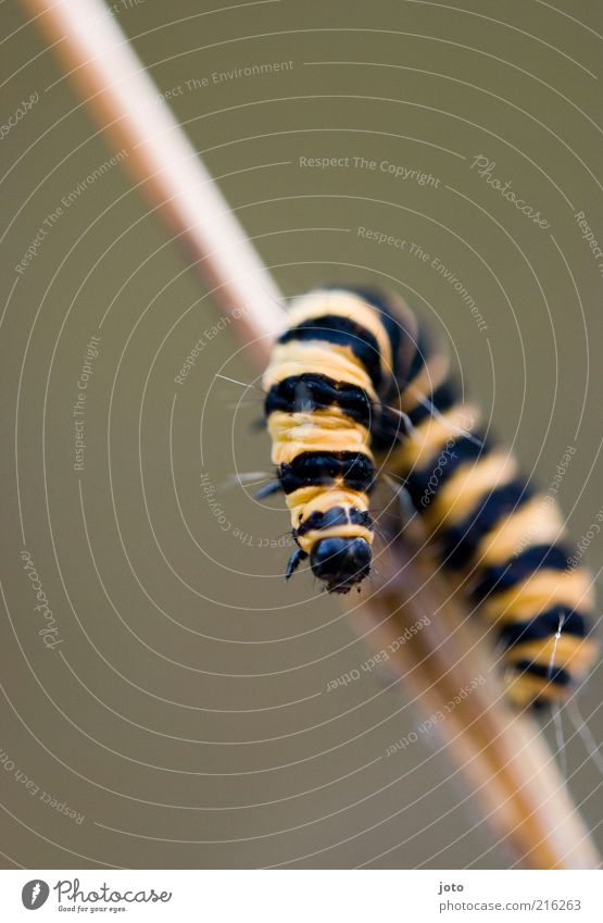 Maja's girlfriend Nature Animal Blade of grass Bee Animal face Caterpillar Hang Crawl Esthetic Funny Janosz Climbing Curiosity Stripe Yellow Rotate