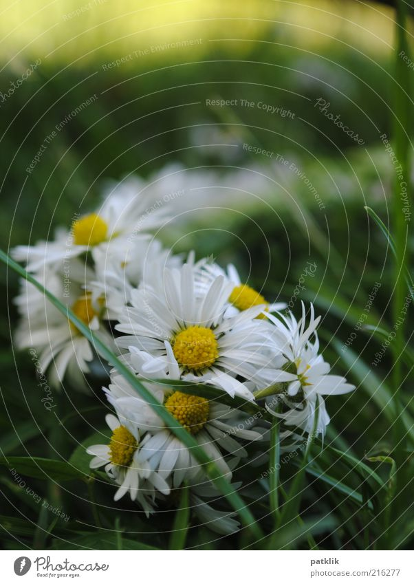 wreath of flowers Nature Plant Blossom Esthetic Fresh Daisy Flower wreath Yellow White Grass Green Playing Colour photo Exterior shot Deserted Day Meadow Summer