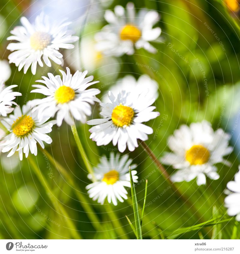Nature White Flower Plant Summer Leaf Meadow Blossom Grass Spring Environment Blossoming Beautiful weather Daisy