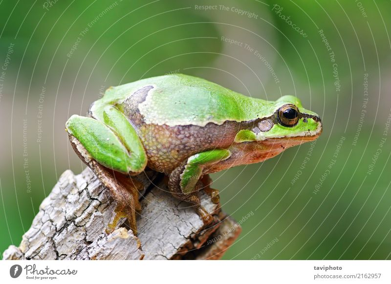 colorful tree frog standing on piece of wood Beautiful Garden Environment Nature Animal Tree Sit Jump Stand Small Natural Cute Slimy Green Colour arborea hyla