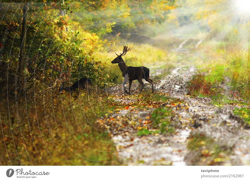 fallow deer buck in beautiful dawn light Nature Man Colour Beautiful Green Sun Landscape Tree Animal Leaf Forest Adults Street Environment Autumn Lanes & trails