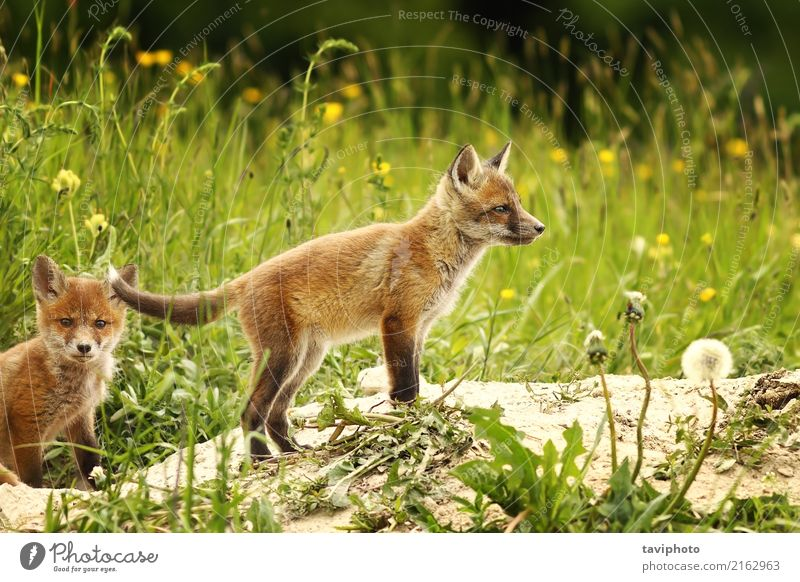 fox cub near the forest Beautiful Face Hunting Baby Family & Relations Youth (Young adults) Environment Nature Animal Grass Forest Fur coat Dog Baby animal