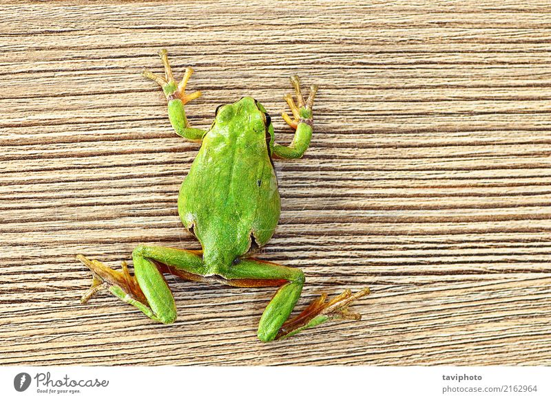 green tree frog climbing on wooden plank Beautiful Furniture Climbing Mountaineering Environment Nature Animal Tree Pet Wood Small Funny Natural Cute Wild Green