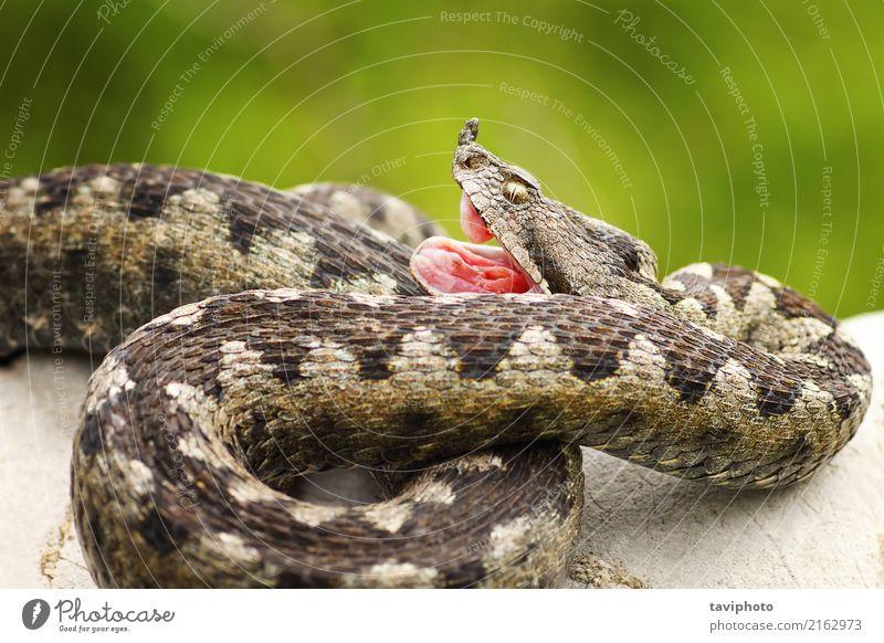 Vipera ammodytes showing its fangs Nature Animal Rock Snake Stone Natural Wild Fear Dangerous adder vipera bite strike Fang Poison venomous poisonous basking