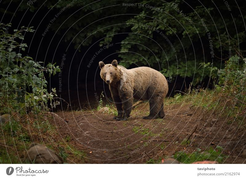 wild brown bear in carpathian mountains Nature Man Green Animal Forest Mountain Baby animal Adults Environment Brown Wild Park Dangerous Large Strong Mammal