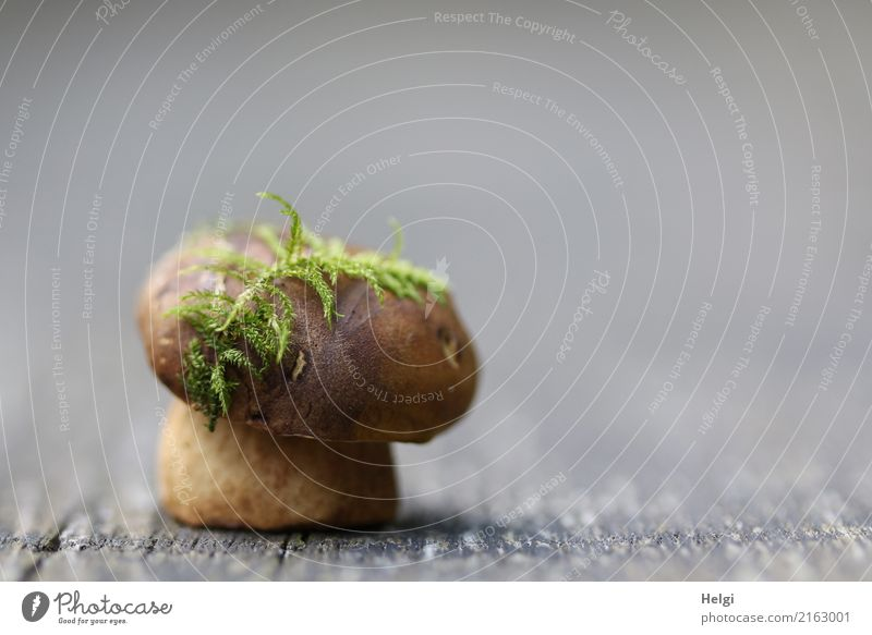 moss green hat jewellery Nature Autumn Moss Mushroom Cep Forest Wood To hold on Stand Exceptional Uniqueness Small Natural Brown Gray Green Change Colour photo