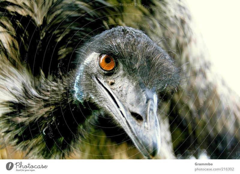 emu Animal Bird 1 Smiling Friendliness Curiosity Eyes Looking Colour photo Exterior shot Animal portrait Feather Metal coil Beak