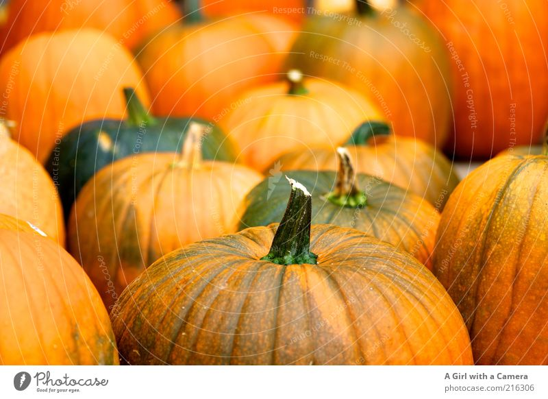 creepy vegetable community Food Vegetable Pumpkin Pumpkin time Pumpkin plants Organic produce Vegetarian diet Hallowe'en Nature Autumn Lie Firm Fresh Natural
