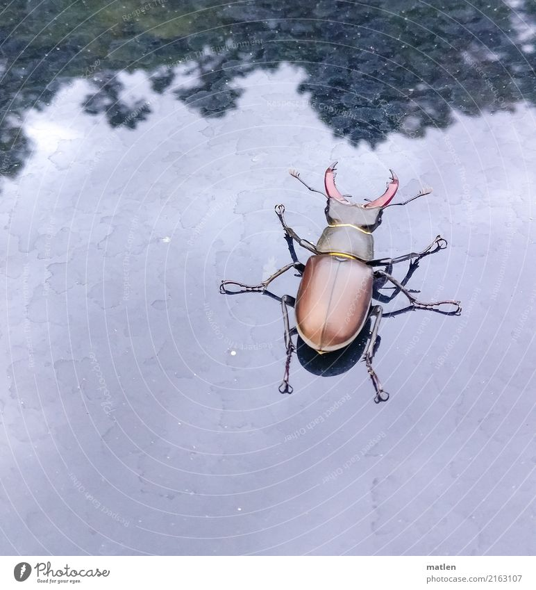 big guy Animal Beetle 1 Large Blue Brown Green Stag beetle Tree Car roof Colour photo Subdued colour Exterior shot Close-up Deserted Copy Space left