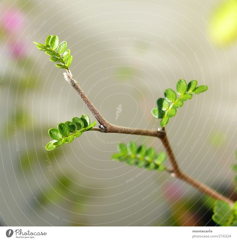 Plant Leaf Esthetic Growth Twig Exotic Delicate Foliage plant Plantlet Leaf green Natural growth Light green