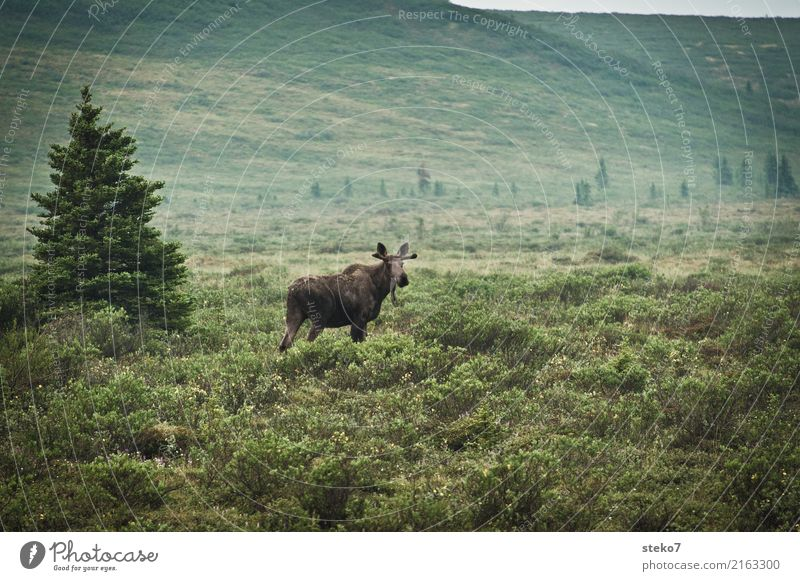 Alaska Street View Tree Bushes Wild animal Elk 1 Animal Observe Stand Blue Green Denali National Park Wayside Baby animal Subdued colour Exterior shot Deserted