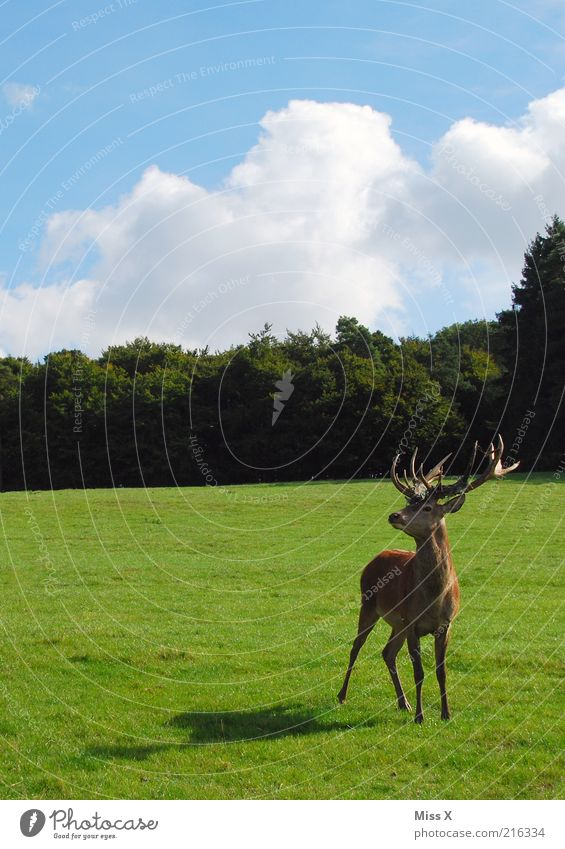 Nature Sky Tree Animal Forest Meadow Grass Park Power Large Esthetic Wild Wild animal Pasture Beautiful weather Antlers