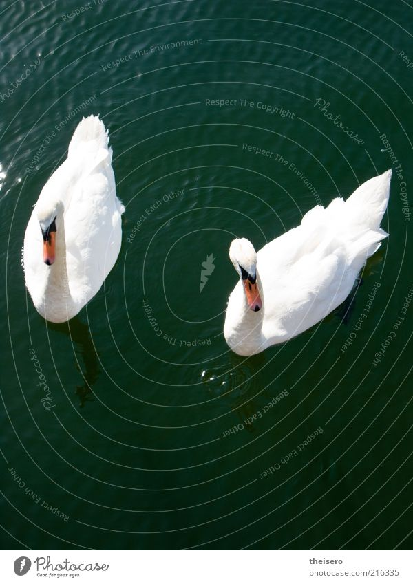 Water Summer Animal Together Pair of animals In pairs Wild animal Beautiful weather Pond Harmonious Pride Swan Nature Connectedness Conceited 2