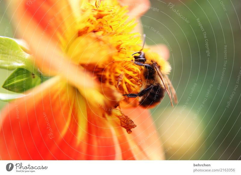 At the end of summer. Nature Plant Animal Summer Beautiful weather Flower Leaf Blossom Garden Park Meadow Wild animal Bee Wing Bumble bee 1 Blossoming Fragrance