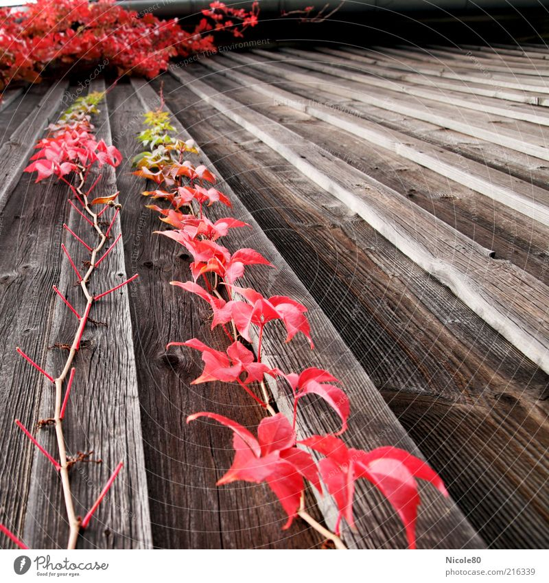 Nature Old Plant Red Autumn Wood Environment Growth Vine Upward Downward Tendril Autumn leaves Wooden wall Creeper Deserted